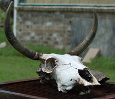 Cow Skull 1 by SalsolaStock