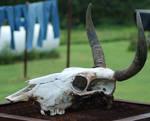 Cow Skull 2