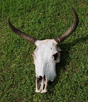Cow Skull 5