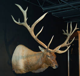 Mounted Elk 1 by SalsolaStock