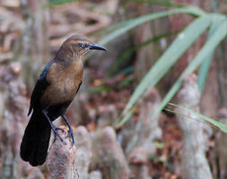 Female Grackle by SalsolaStock