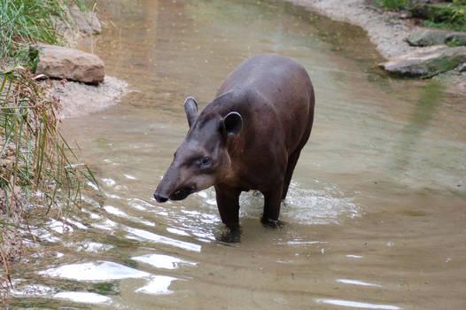 Lowland Tapir 4