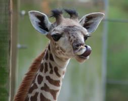 Cheeky Baby Giraffe 4 by SalsolaStock