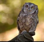Western Screech Owl 6