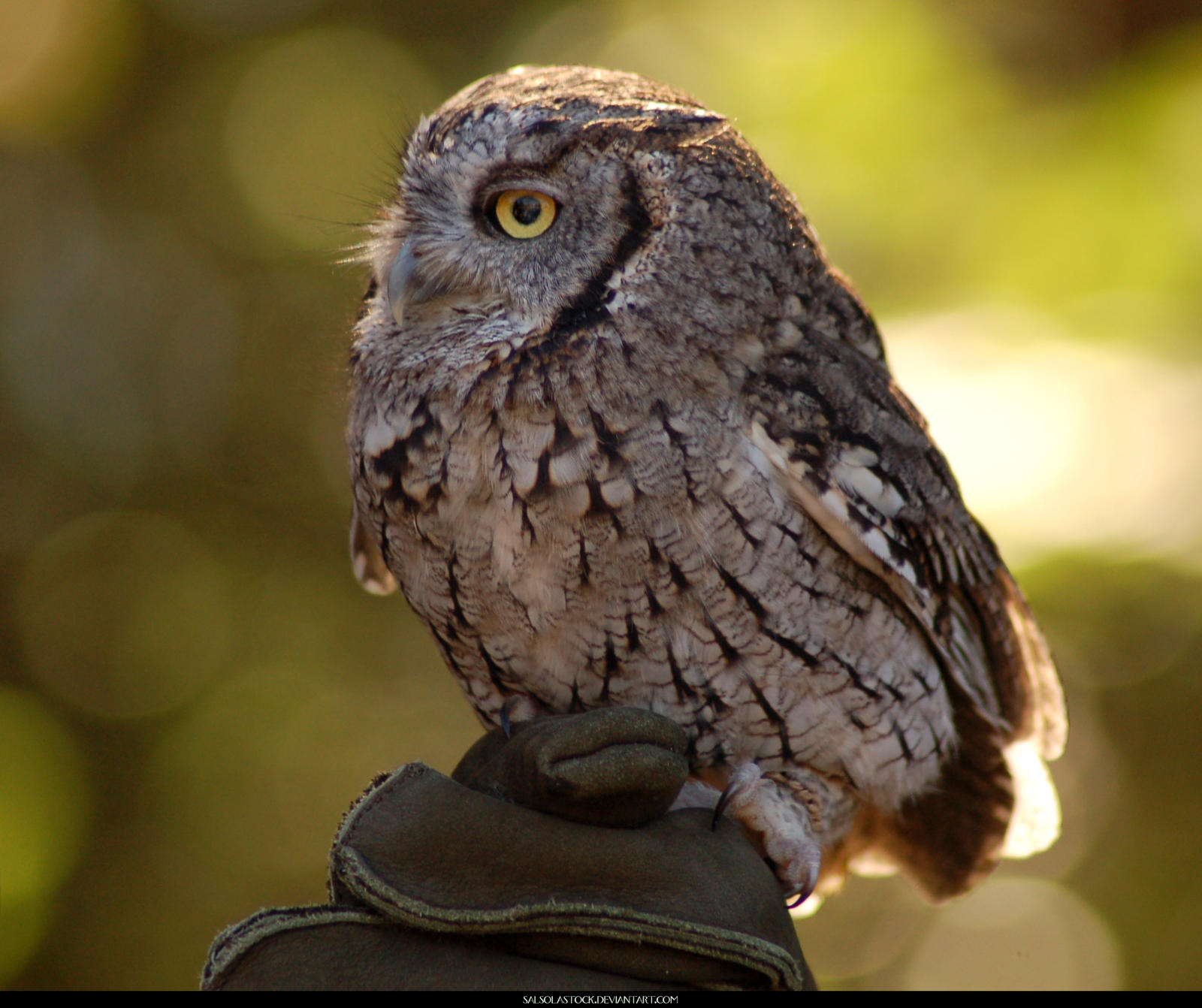 Western Screech Owl by SalsolaStock on DeviantArt