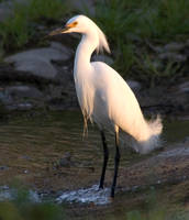 Cattle Egret by SalsolaStock