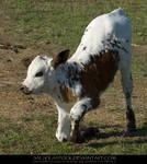Kneeling Calf