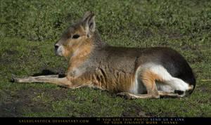 Patagonian Mara 1