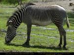Zebra Stock 1