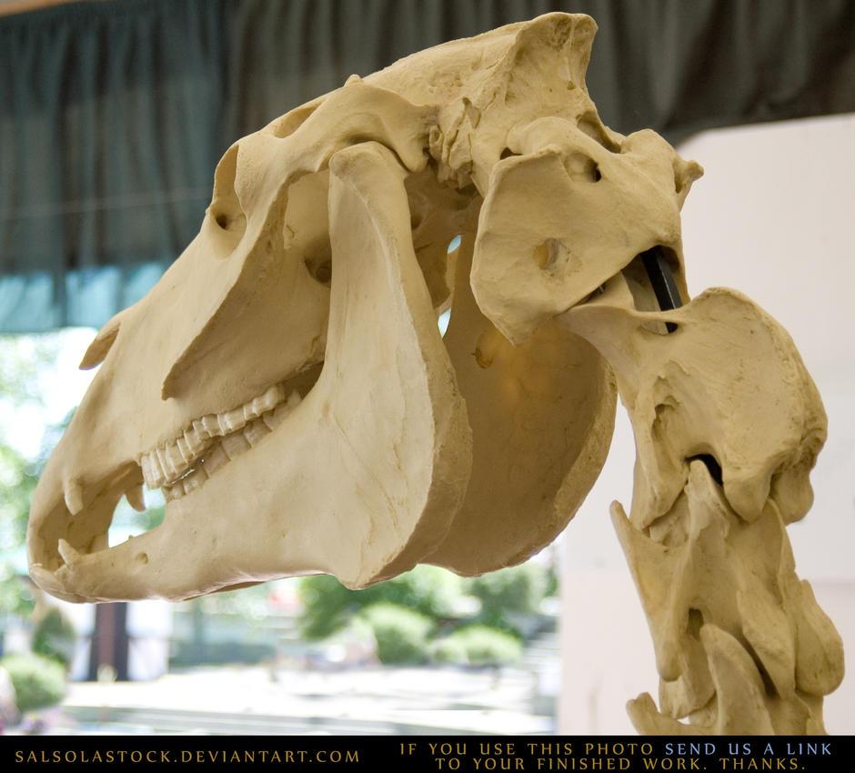 Horse Skeleton 6 by SalsolaStock