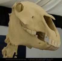 Horse Skeleton 5 by SalsolaStock