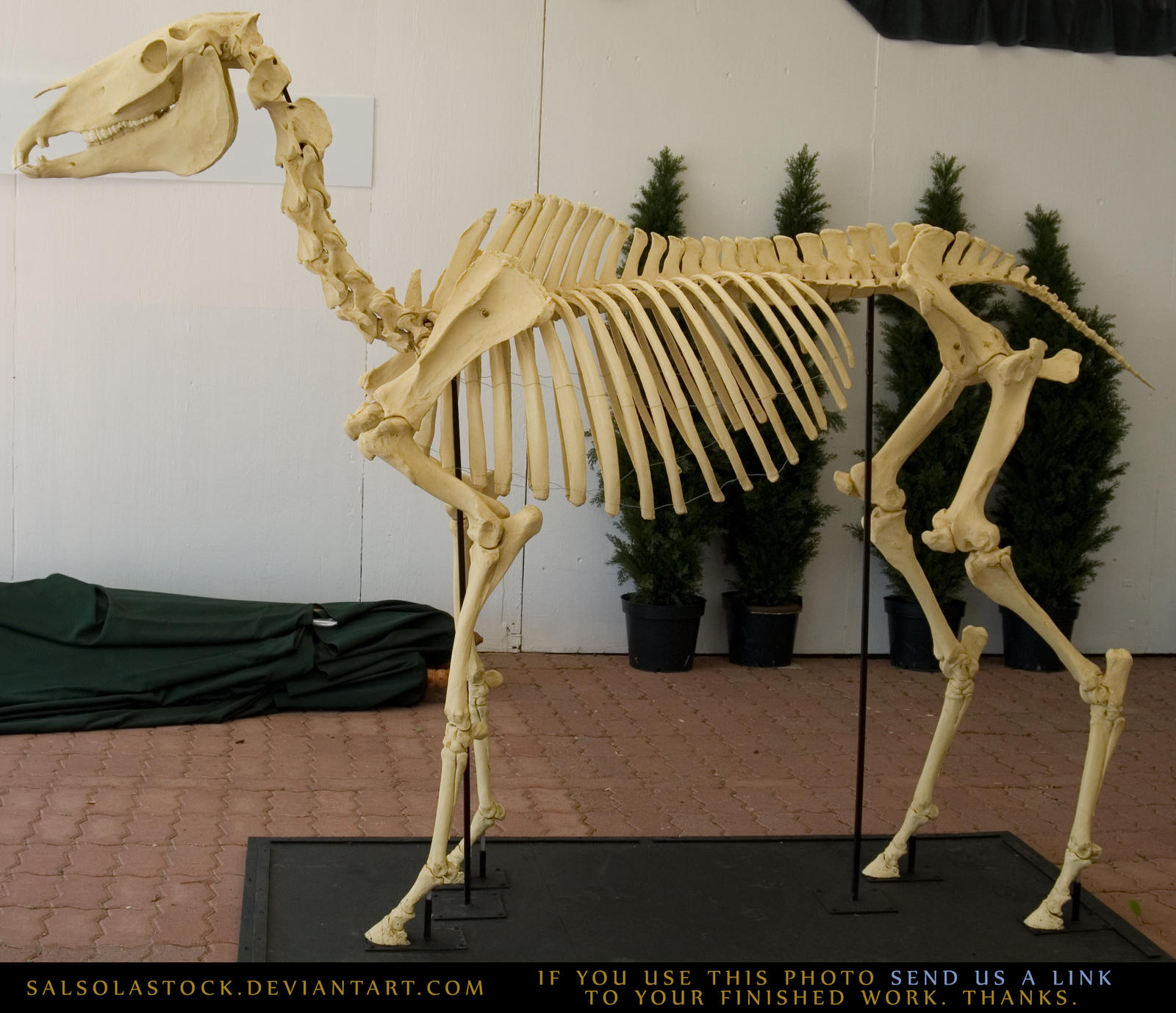 horse_skeleton_3_by_salsolastock-d1j3rhd