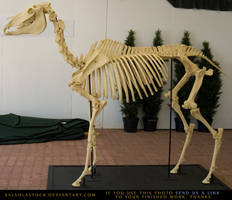 Horse Skeleton 3 by SalsolaStock