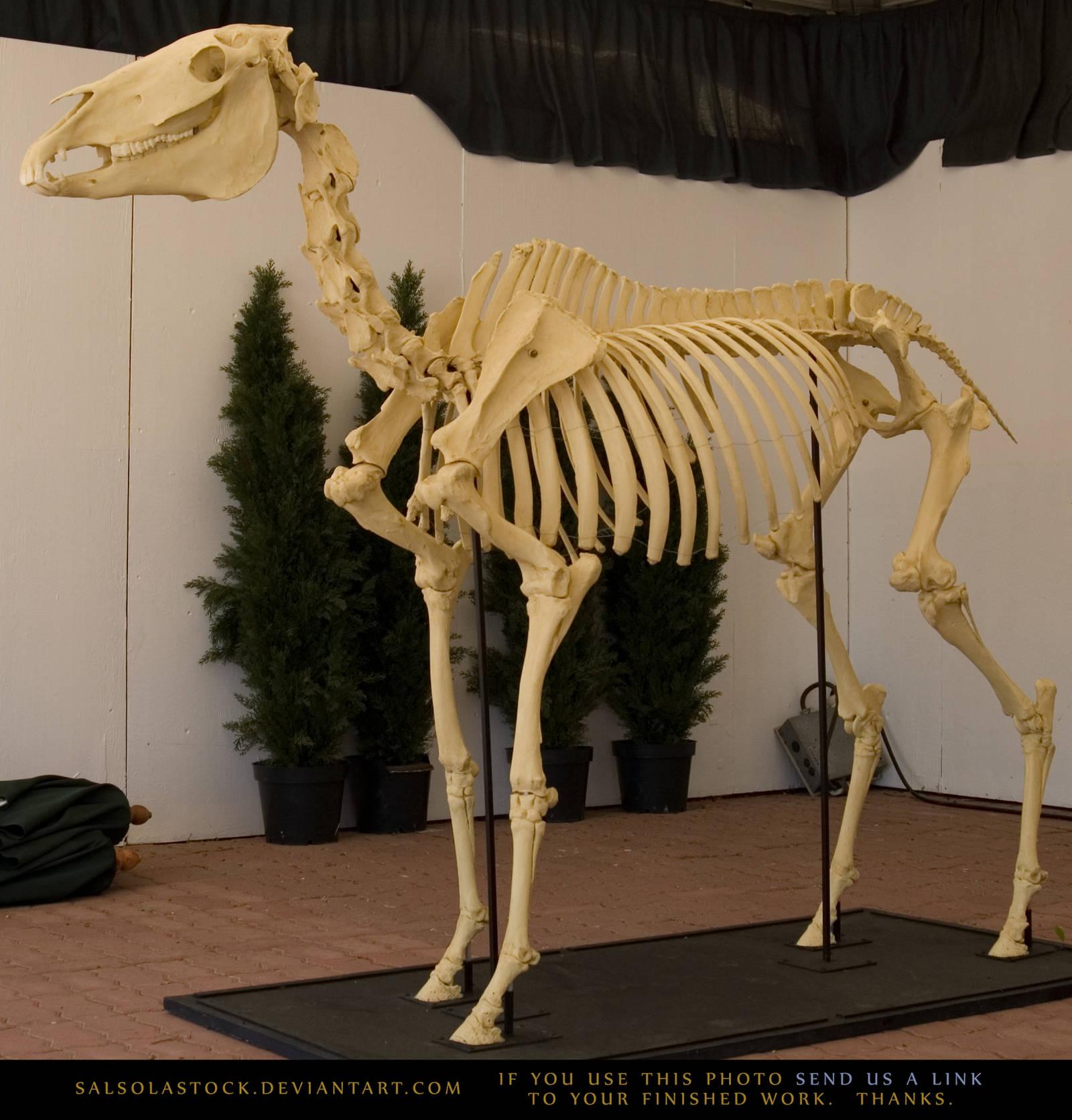 Horse Skeleton 2 by SalsolaStock