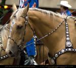 Palomino Parade HS 2