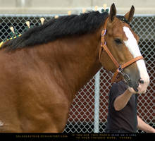 Clydesdale 9
