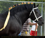 Percheron Stallion 2