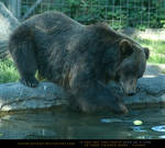 Grizzly Bear 3