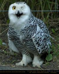 Snowy Owl 1 by SalsolaStock