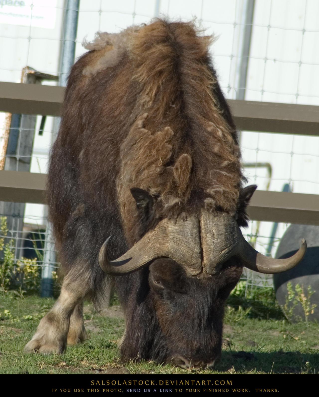 MuskOx Bull 1 by SalsolaStock