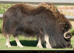 MuskOx Cow 1