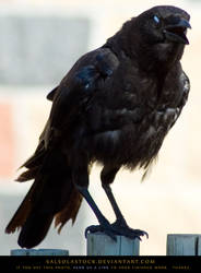 Creepy Crow by SalsolaStock
