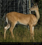 Whitetail Doe 3