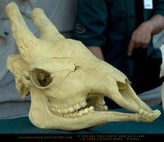 Giraffe Skull by SalsolaStock