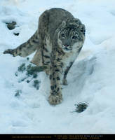 Snow Leopard by SalsolaStock