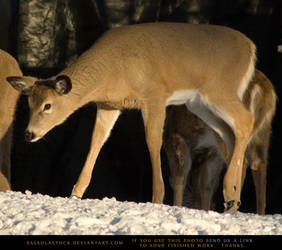 Winter Whitetail Doe 3 by SalsolaStock
