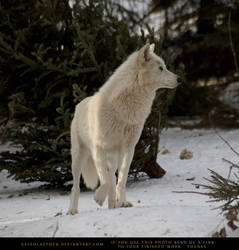 Arctic Wolf 2 by SalsolaStock