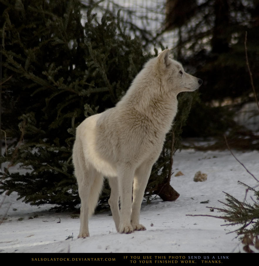 Arctic Wolf 3 by SalsolaStock