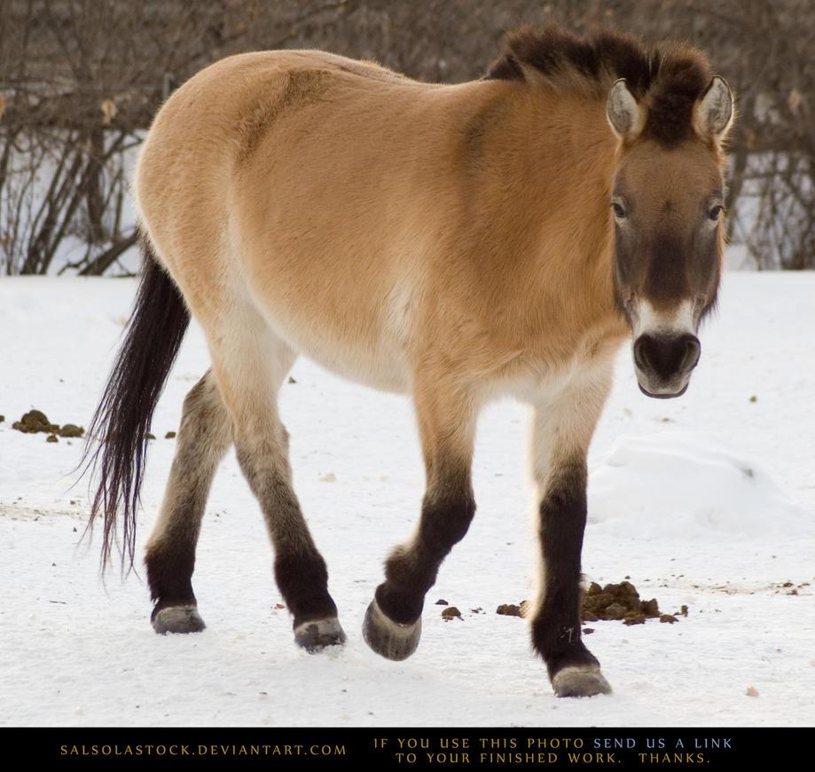 Asian Wild Horse 2 by SalsolaStock on deviantART
