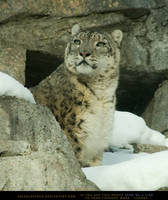 Snow Leopard 2 by SalsolaStock
