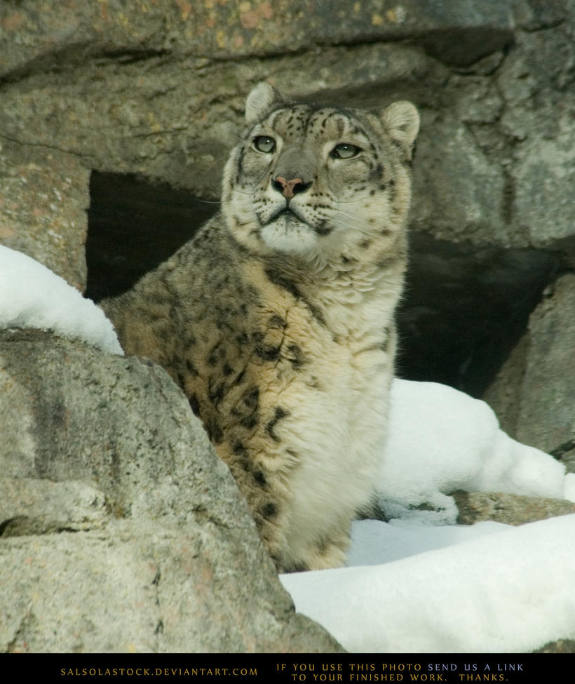Snow Leopard 2 by SalsolaStock