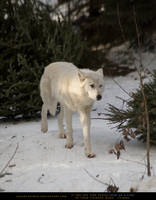 Arctic Wolf 5 by SalsolaStock