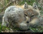 Sleepy Swift Fox 3