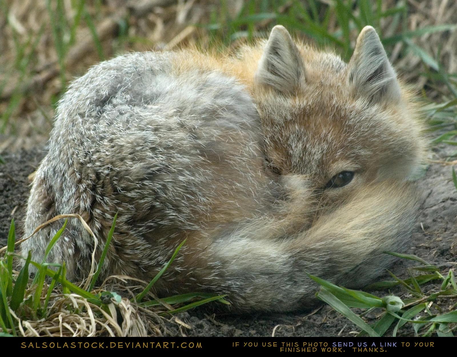 Sleepy Swift Fox 2 by SalsolaStock