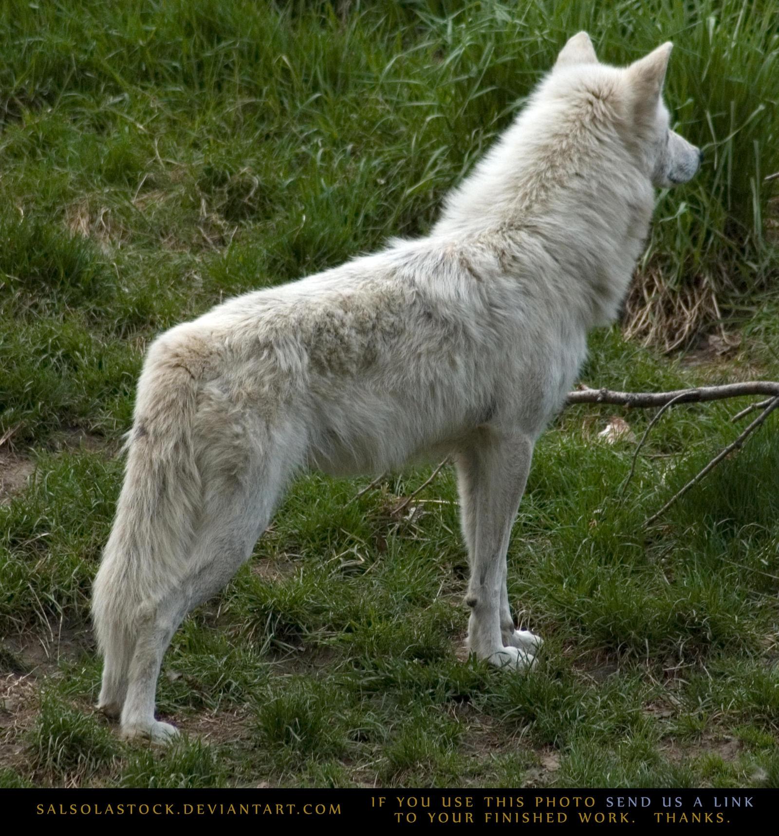 Arctic Wolf 6
