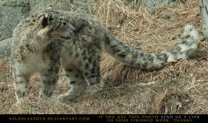 Snow Leopard 5 by SalsolaStock