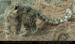 Snow Leopard 5