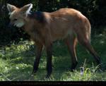 Maned Wolf 1