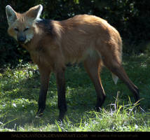 Maned Wolf 2 by SalsolaStock