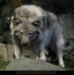 Gray Wolf 7