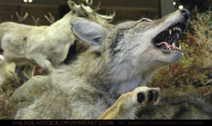 Gray Wolf 10