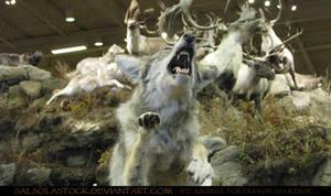 Gray Wolf 11