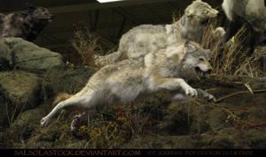 Gray Wolf 12