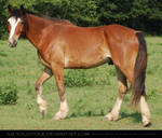 Clydesdale X
