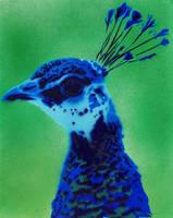 Peacock by Ali-Radicali