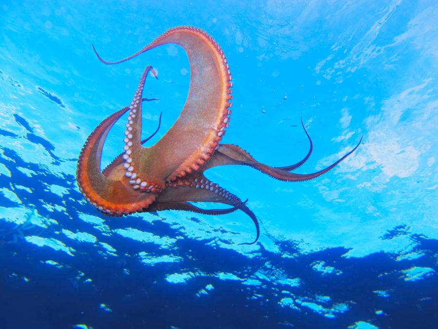 Swimming Octopus